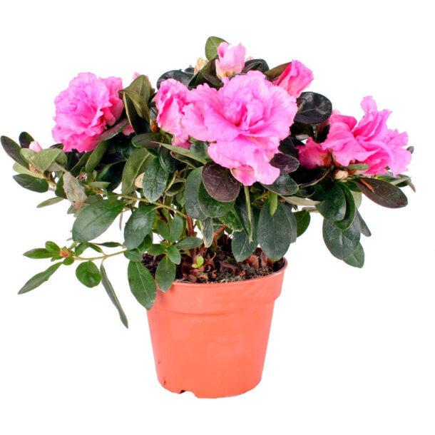 Азалия Индика Розовая цветущая