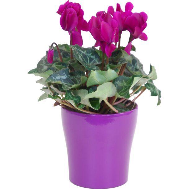 Цикламен персидский цветущий