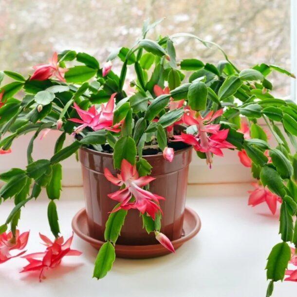 Цветущий кактус Шлюмбергера