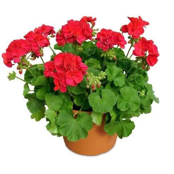 Герань с красными цветками
