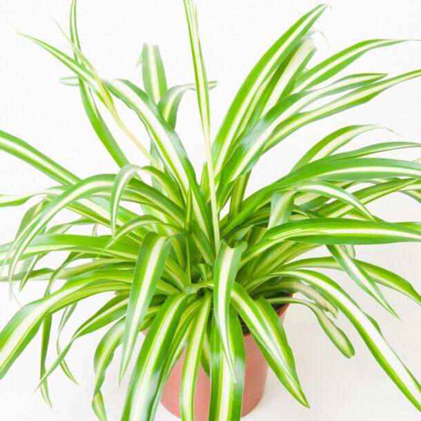 Хлорофитум хохлатый с вариегатными листьями