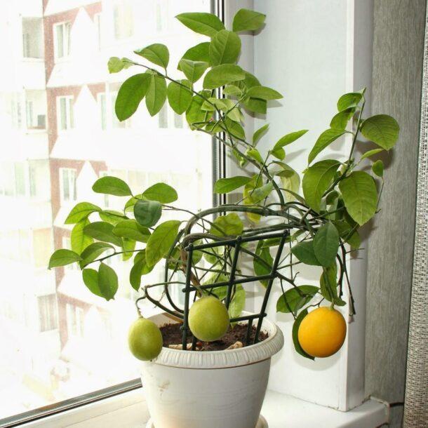 Плодоносящее деревце комнатного лимона