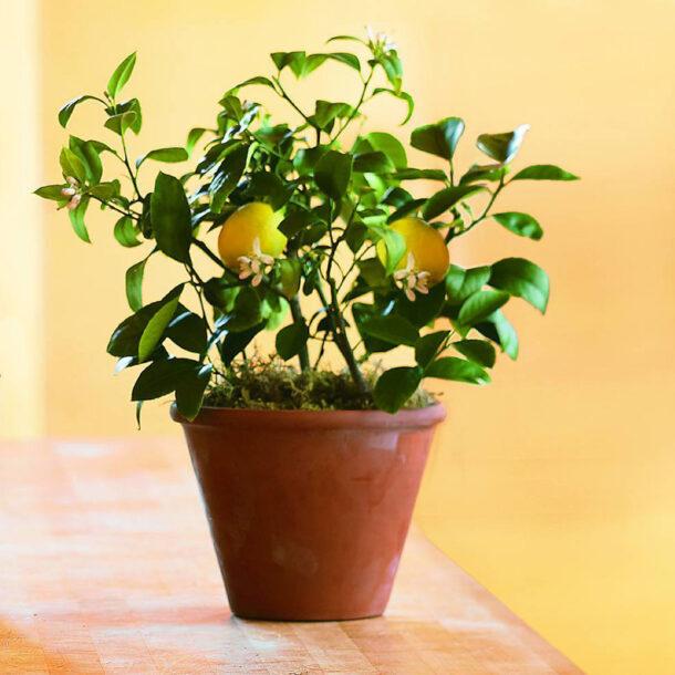Лимон комнатный с цветками и плодами