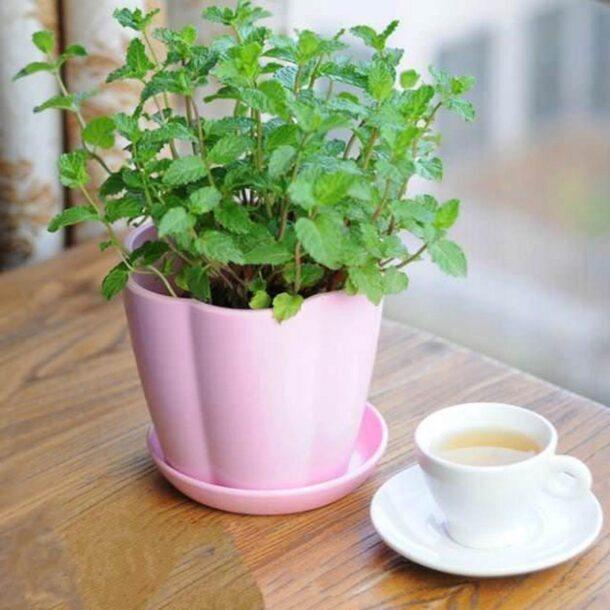Мята в цветочном горшке и чашка чая