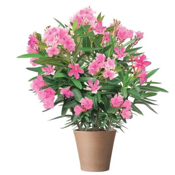 Олеандр с розовыми цветками