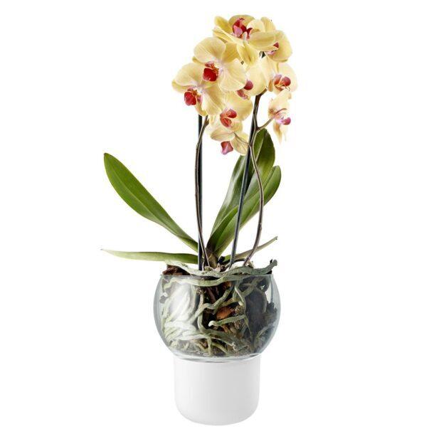 орхидея корни
