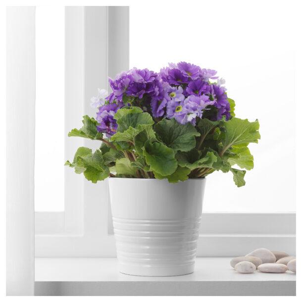 Примула с фиолетовыми цветками