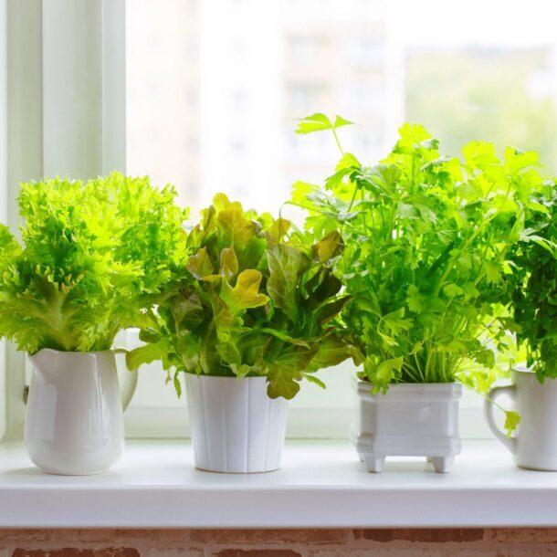 Разные виды салата, петрушка, орегано