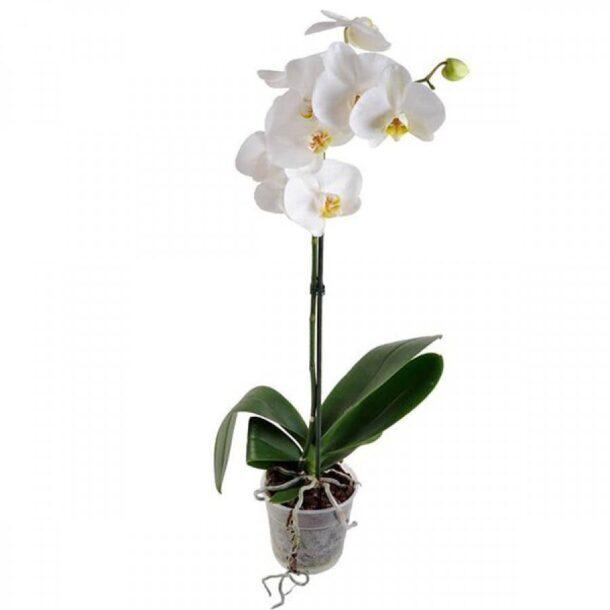 Цветущая орхидея в прозрачном горшочке