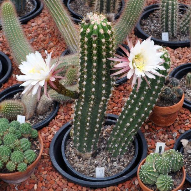 Трихоцереус белеющий в период цветения