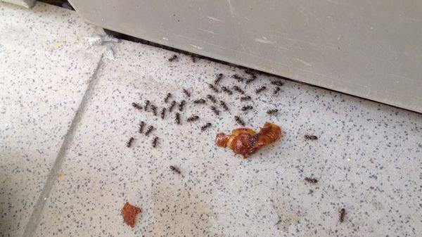 14 способов, как избавиться от муравьев в квартире